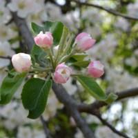 Wild Apple Pink