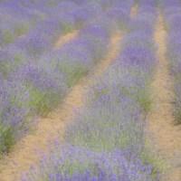 Dreamy Lavender Field