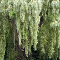 Willow Detail