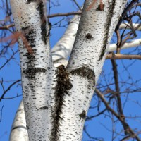 Birch and Blue Sky