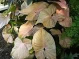 Exotic Green Beautiful Syngonium Pink Indoor Plant Choco Brown Pot