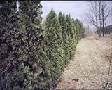10 semillas de Thuja occidentalis Semillas PIRAMIDALES Arborvitae americano