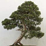 Potseed Juniperus chinensis (China Juniper) - 10 Semillas