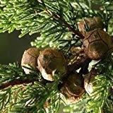FERRY Germinación de Las Semillas: Las Semillas del árbol de Monterrey (Cupressus macrocarpa) 25Seeds (50)