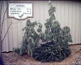 10 semillas de Thuja occidentalzis llorando Semillas AMERICAN ArborVitae