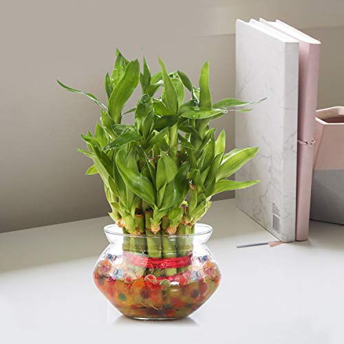 Nurturing Green Special Rakhi- Lucky Bamboo Two Layer in Round Glass Pot with one Male Rakhi 3