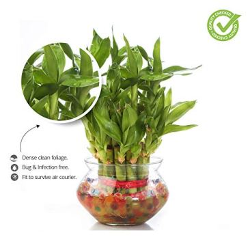 Nurturing Green Special Rakhi- Lucky Bamboo Two Layer in Round Glass Pot with one Male Rakhi 5