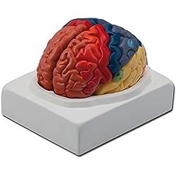 Modelo Anatómico Zonas Cerebrales