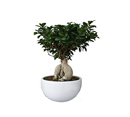 The Bonsai Plants Indoor 6 year Old Grafted Ficus Bonsai Tree -  GiftingTrends