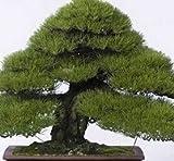 30pcs semillas del árbol de pino japonés, Pinus thunbergii semillas, semillas de árboles bonsai para el hogar bricolaje establecimiento del jardín