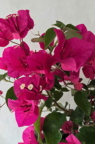 Semi organici: 2,5 Quart (): RRA Carso Rosso, Bougainea (fiori, SKET appesi,) per Farmerly