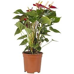 secretgiardino.com Pianta vera fiorita ornamentale PIANTA DI ANTURIO ANTHURIUM DAI FIORI GRANDI Ø 17 cm - h 75 cm da interno