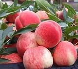AIMADO Samen-Rarität 10 Stück Zwerg-Pfirsich Samen mehrjährig bonsai bio pflanzen Obst Saatgut köstlichen Früchte,insbesondere für kleine Balkone & Terrassen Winterhart