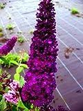 Schmetterlingsstrauch Buddleja Black Knight 60 cm im 3 Liter Pflanzcontaier