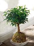 Kokedama Ficus Benjamina