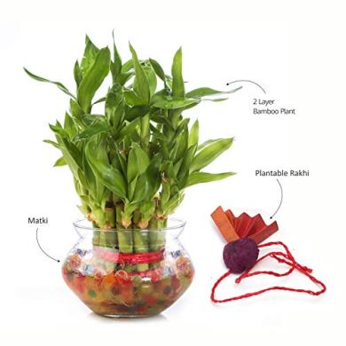 Nurturing Green Special Rakhi- Lucky Bamboo Two Layer in Round Glass Pot with one Male Rakhi 21