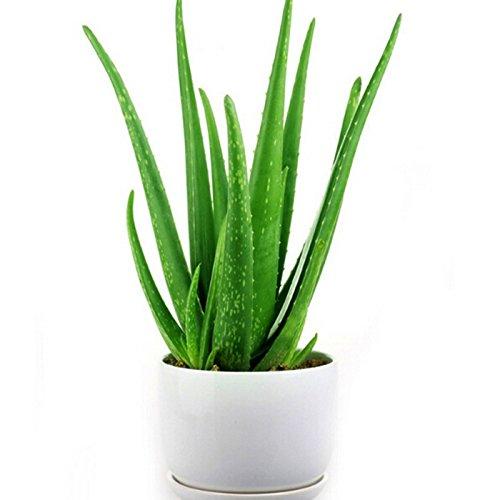 Aloe Vera Pflanze Vergleich Ratgeber Infos Top Produkte