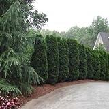 Semillas Arborvitae americano cedro blanco (Thuja occidentalis) 200 + Semillas