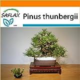 SAFLAX - Garden in the Bag - Pino negro japonés - 30 semillas - Pinus thunbergii