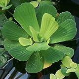 Agua Lechuga - flotante viven plantas acuáticas de exterior