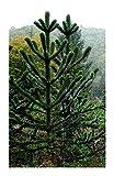 Shop Meeko 3 semillas de Araucaria araucana: - rompecabezas mono - mono - 3 seedsplant