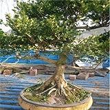 50pcs Inicio Jardín de Plantas Bonsai de boj Semillas Repelente de Insectos Una buena opción para familias absorber el formaldehído Mini árbol en maceta