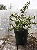 Las Semillas del Paquete: Mini Jade abigarrado Bonsai - prebonsai, Great Start, 4' Semilla, N!