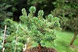 Portal Cool Las semillas del paquete: 85G / 3oz Pino: 2 Live árbol SeedsPinus pinaster Pinus pinea piedra pino pino piñonero