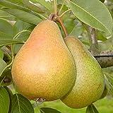 Gellerts Buttebirne ein Birnenbaum als Buschbaum ca. 80-120 cm, im 5 Liter Topf, Unterlage: Sämling