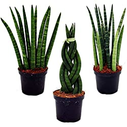 Sansevieria cylindrica - Set of three different styles - in 9cm pot - Mother-in-law's Tongue
