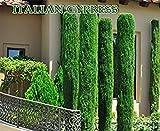 ANVIN Germinación de Las Semillas: 300 Semillas Italianos (Cupressus sempervirens), Toscana, O Cementerio