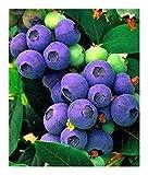 Exotic Plants Arándanos - 20 Semillas