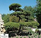 vegherb Mugo Pino, Pinus mugo Montana, Bonsai! ¡Resistente! 30 Semillas de árboles