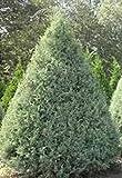 FERRY Semillas orgánicas única No Plantas: Phire 'Cupressus arizonica' 100 Semillas, árbol de Hoja perenne, Grandes 12-20'