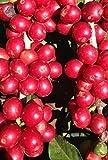 Coffea arabica nana - Zwergkaffeestrauch - 20 Samen