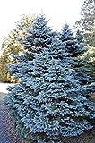 seedsown - Picea pungens Glauco. Abeto Azul de Colorado. 50 Semillas - 1 Packs
