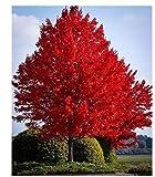 Semillas Xiton Árbol de arce rojo 40 Semillas UPC 643451295795