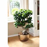 Semillas chinas raras Ficus Microcarpa árbol, China Las raíces de ginseng Bonsai Sementes Banyan del árbol del jardín exterior Jardineras - 5pcs / lot