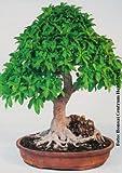TROPICA - Laurel de Indias (Ficus rmicrocarpa) - 20 semillas- Bonsai