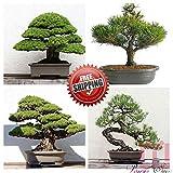 Shoopy Star 50pc japonesa Juniper Bonsai árbol bonsai semillas de Juniperus chinensis oficina de semillas