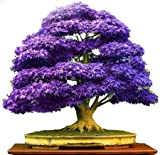 Cuir Dor - 10 Semillas Arce Púrpura lila (Acer palmatum)