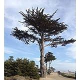 Go Garden 5 Semillas de Monterey Cypress Tree - Cupressus macrocarpa