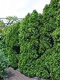 Arborvitae americano, Thuja occidentalis, 150 semillas de árboles (Evergreen Hedge)