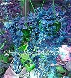 Semilla del multicolor hoja de la hierba perenne planta rastrera Hierba semilla vivero Interesante Bonsai Maceta Inicio decoración del jardín 100 P 12