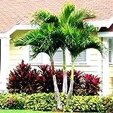 GETSO ! Venta 10 Piezas de Palm Bonsai Flores, Ravenala madagascariensis Planta de la Palma del Ventilador Chino, Alto Árbol de Hoja perenne jardín de DIY, la tasa de 97% en ciernes: 5