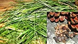 Semillas PACAKGE NO SÓLO Plantas: g/Pino Semilla s:. x recientemente escogido s o Semillas semilla de Pino Pinus pinea Pinus Pinaster