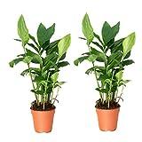 Zimt-Aroma, Kardamom, Elettaria cardamomum, 2 Pflanzen, 12 cm Topf, 15 - 30 cm hoch, plus 1 Paar Handschuhe gratis