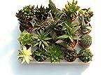 lot de 20 Succulentes Rares Differentes diam 5,5 cm production Viggiano Cactus Sans épines Mini set
