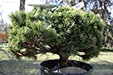 HONIC Las Semillas del Paquete: 15 Semillas de Pinus mugo mughos (Mugo de Pino) Bonsai