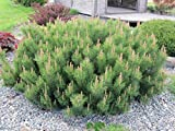 Portal Cool Pinus Mugo Pumilio 100 semillas
